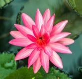 Лотос лилии пинка и воды лотоса листает, пусковая площадка лилии Стоковое Изображение RF