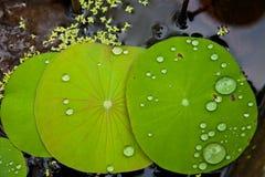 лотос листьев изображения Стоковая Фотография