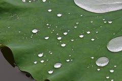 лотос листьев шариков Стоковое Изображение RF