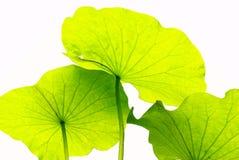 лотос листьев Стоковые Изображения