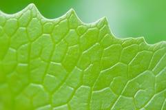 лотос листьев Стоковое Изображение RF