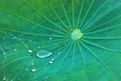 лотос листьев стоковое фото