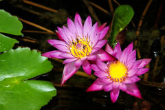 Лотос на естественной предпосылке от Таиланда Стоковое фото RF