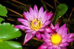 Лотос на естественной предпосылке от Таиланда Стоковые Фото