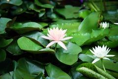 Лотос на естественной предпосылке от Таиланда Стоковые Изображения