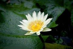 Лотос на естественной предпосылке от Таиланда Стоковая Фотография RF