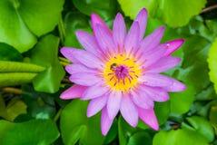 лотос пчелы один розовый фиолет стоковые фотографии rf