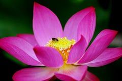 лотос пчел Стоковая Фотография