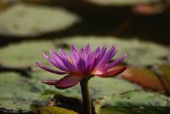 Лотос РОЗОВОГО ЛОТОСА индийский, священный лотос, фасоль Индии Стоковая Фотография