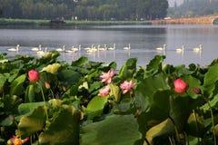Лотос с белым лебедем в озере Ханчжоу западном Стоковые Фото