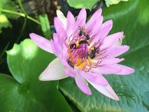 Лотос с пчелой Стоковое Фото