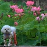 Лотос с собакой Стоковая Фотография RF