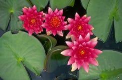 лотос цветений Стоковое фото RF