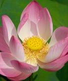 лотос цветения Стоковая Фотография RF