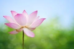 лотос цветения Стоковые Фотографии RF