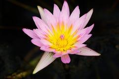 лотос цветеня Стоковые Фотографии RF