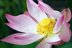 лотос цветка крупного плана Стоковые Изображения