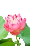 лотос цветка Стоковые Фото