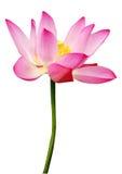 лотос цветка Стоковое фото RF