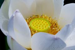 лотос цветка Стоковое Фото