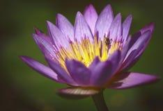 Лотос, цветки Будды стоковые фотографии rf