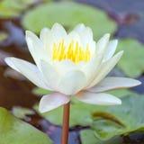 лотос 02 цветков Стоковые Фотографии RF
