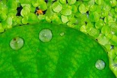 лотос 2 листьев стоковое изображение rf