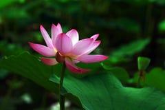 лотос 8 цветков Стоковая Фотография RF