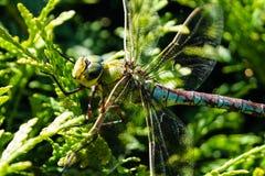 Лоточница Dragonfly коричневая стоковые фотографии rf