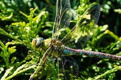Лоточница Dragonfly коричневая стоковое изображение rf
