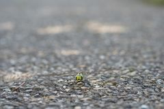 Лоточница dragonfly насекомого южная стоковые изображения