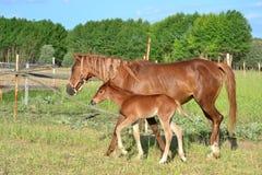 Лошади благородное и очаровательное полезное животное Стоковые Изображения RF