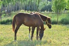 Лошади благородное и очаровательное полезное животное Стоковое Фото