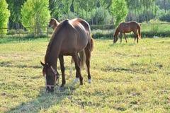 Лошади благородное и очаровательное полезное животное Стоковое Изображение RF