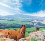 Лошади Брайна пася в зеленом поле Стоковые Фотографии RF