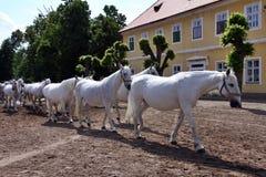лошади возвращают конюшню к белизне Стоковое фото RF