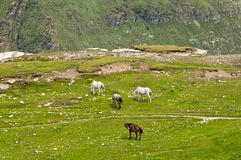 Лошади в долине Стоковые Изображения RF