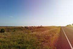 Лошади в ранчо вдоль дороги фермы в сельском Техасе на заходе солнца, США Стоковые Фотографии RF