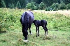 Лошади горы Стоковая Фотография