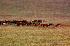 лошади группы злаковика Стоковая Фотография