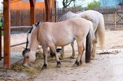 Лошади есть сено на ферме стоковое фото rf