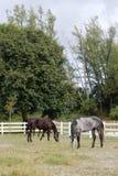 Лошади есть траву в поле Стоковое Изображение RF