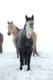 лошади зимние Стоковая Фотография