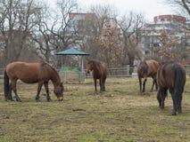 4 лошади имбиря коричневых есть солому на луге в осени туманной Стоковая Фотография RF