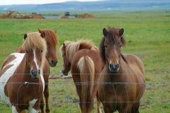 Лошади Исландии с никто вокруг стоковая фотография rf