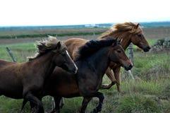 Лошади Исландии с никто вокруг стоковые фотографии rf