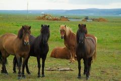 Лошади Исландии с никто вокруг стоковое фото rf