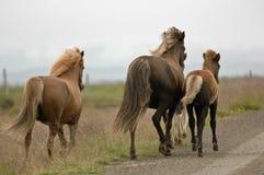 Лошади Исландии с никто вокруг стоковые изображения rf
