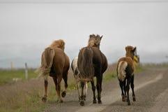 Лошади Исландии с никто вокруг стоковое изображение