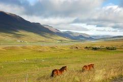 лошади Исландия Стоковое фото RF